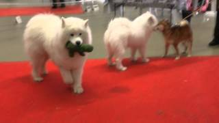 Paris dog show 2016 Samoyed