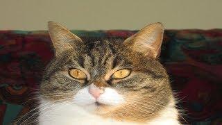 Gatto furbo bussa alla porta - Clever cat knocks on the door