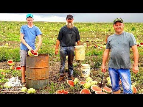Выбиваем семена арбуза в Бразилии сорта Топ Ган и Манчестер