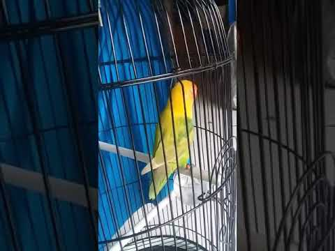 Pancingan terbaik lovebird fighter