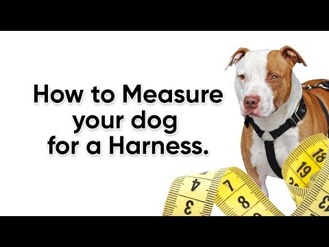 How To Measure Your Dog For A Harness.