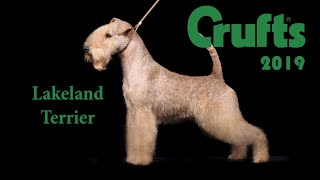 Lakeland Terrier Crufts 2019