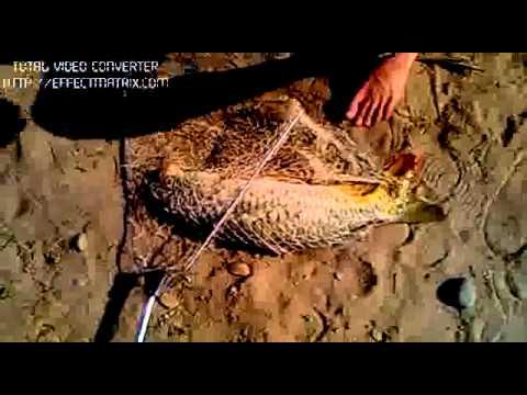 Câu cá chép vẩy to 4kg ở Tam Đường, Lai Châu