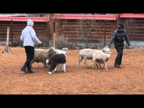 овца знакомства