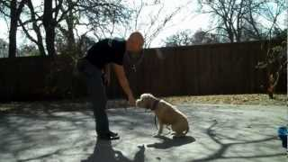 Dallas Dog Training | Darby, Wheaton Terrier | Redeeming Dogs | Tod Mcvicker Dog Trainer