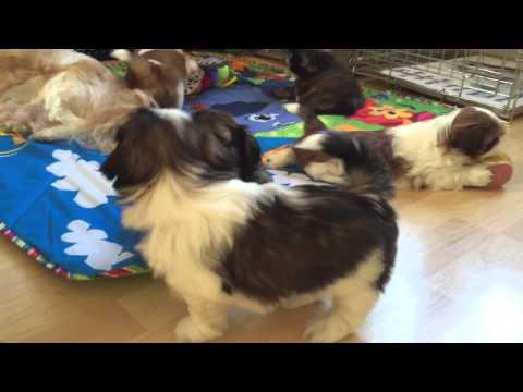 6 week old Shih Tzu puppies playing