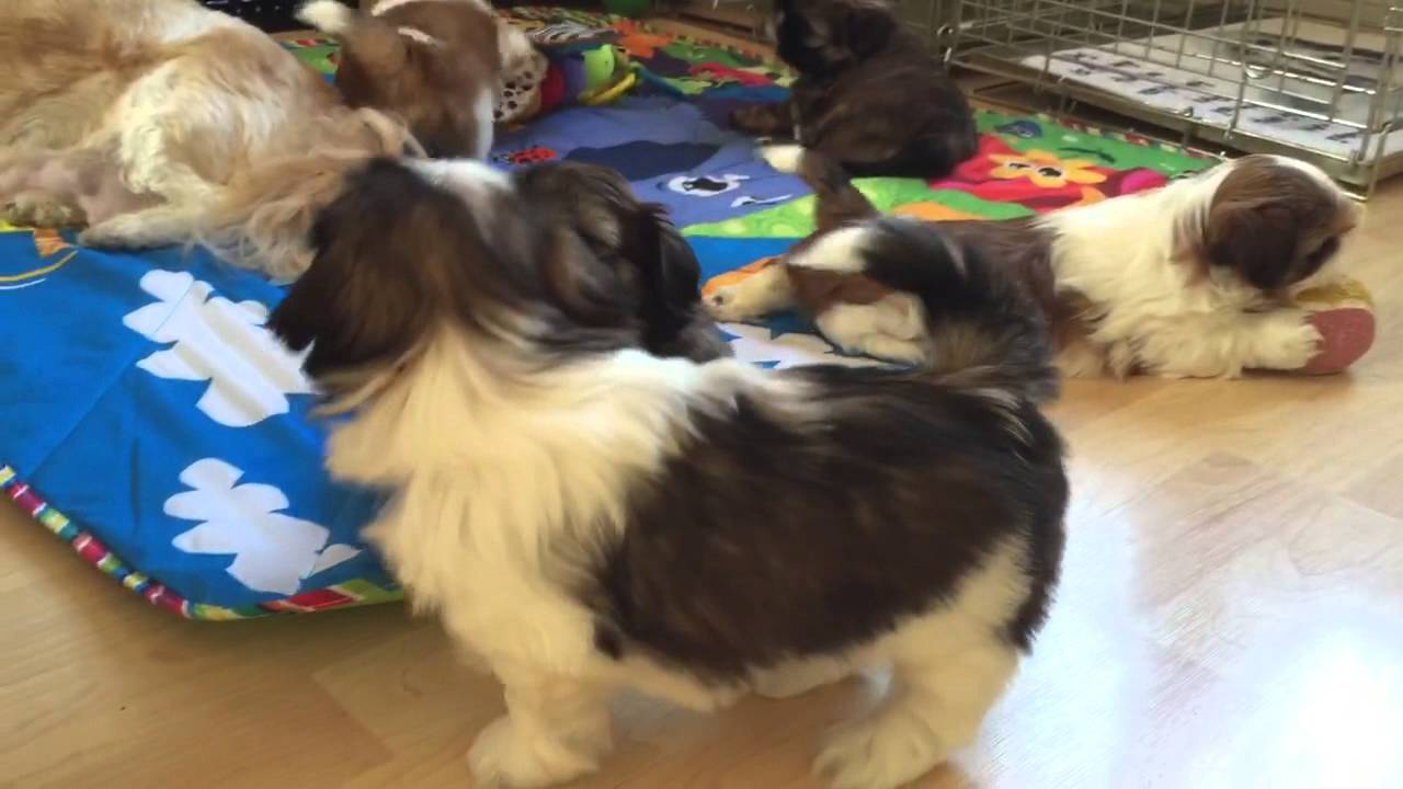 6 Week Old Shih Tzu Puppies Playing Youtube