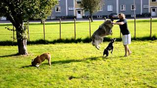 Bulldog, Sarplaninac, Staffordshire Bullterrier Playing In The Yard