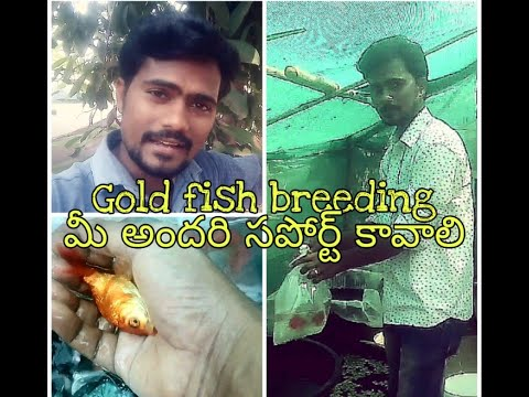 Starting gold fish breeding // in AQUA PLANET TELUGU//Aquarium fish