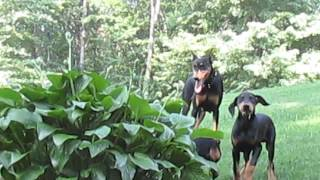 Doberman Puppies For Sale In Pa.