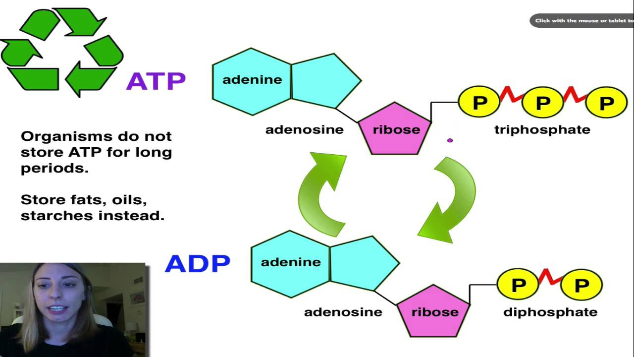 atp adp cycle youtube atp adp cycle animation atp and adp diagram [ 1280 x 720 Pixel ]
