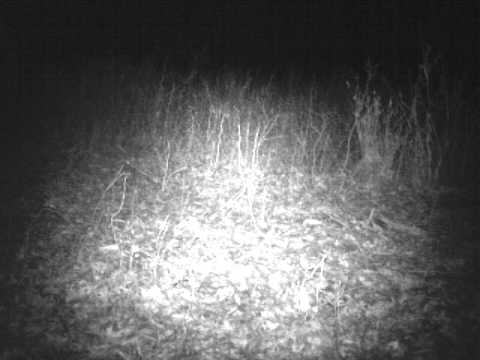 Illinois cougar footage