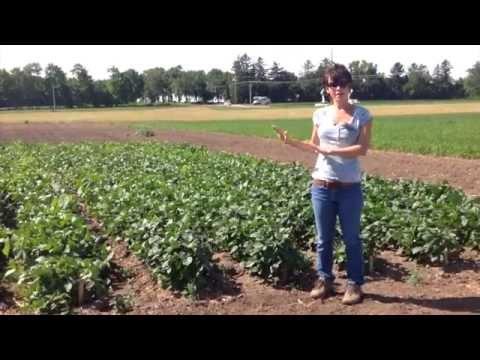 Cowpea Cover Crop Seed, Erin Silva, WI