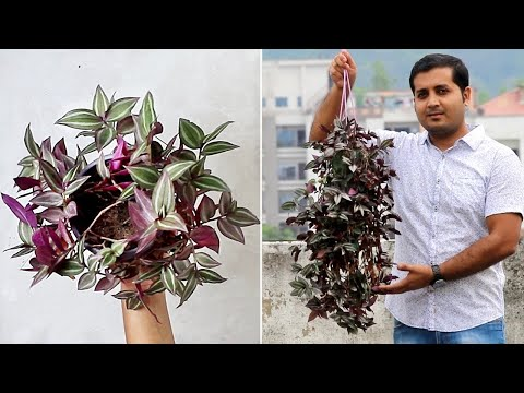 BEST Eye Catching Plant for Hanging Basket - Wandering Jew