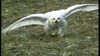 Snowy Owl in Nunavut, Canada