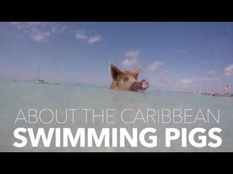 Pig Beach Isn't Paradise for the Swimming Pigs