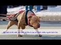 Những hiểm họa khó lường khi nuôi chó pitbull