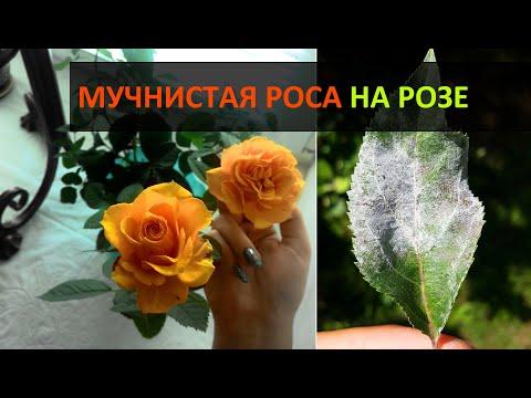 МУЧНИСТАЯ РОСА на розах: меры борьбы. Домашние розы