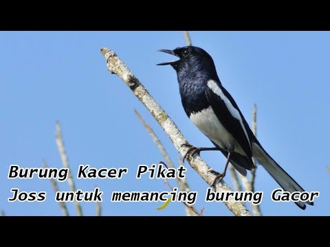Suara Burung Kacer Pikat untuk Memancing Burung Bunyi Gacor Versi 1 (Oriental Magpie Robin)