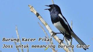 Download Suara Burung Kacer Pikat untuk Memancing Burung Bunyi Gacor Versi 1 (Oriental Magpie Robin)