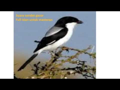 Kompilasi Suara Cendet betina Asli Gacor Full Isian untuk Masteran 1 1