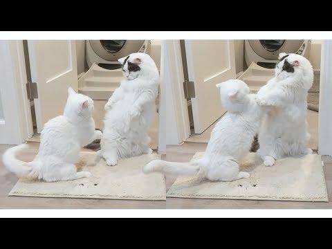 고양이 싸움은 힘이 아니라 패기다! 패왕색 꼬부기
