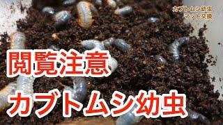 カブトムシ飼育に愛用中のグッズ SANKO 育成マット10L http://amzn.to/2...