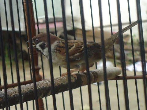 Burung Gereja Gacor Nyecret Rapat !!! Masteran Burung Murai Batu Medan,Cucak Ijo dll.