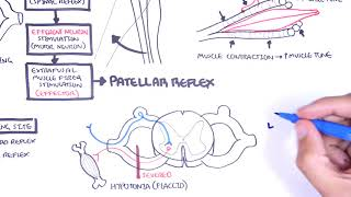 Introduction to how reflexes work - reflex arc, monosynaptic and polysynaptic reflexes