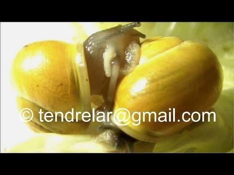 L'escargot est hermaphrodite : la preuve ! (2)