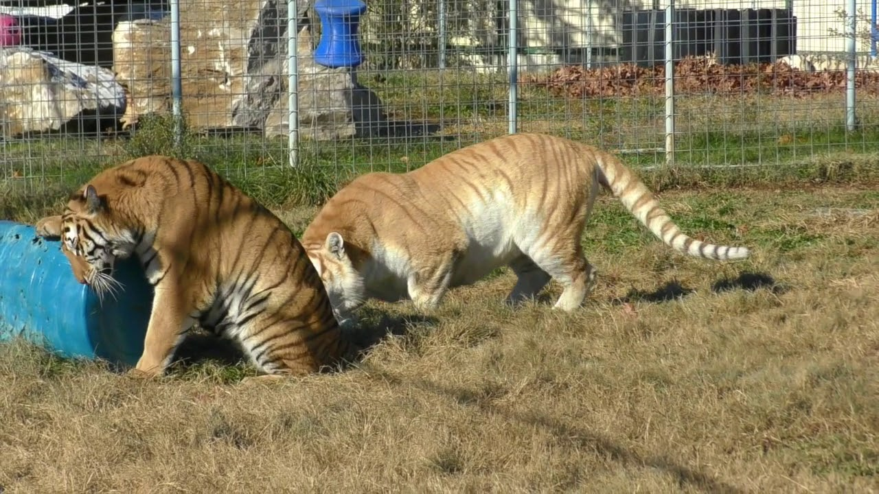Tiger and Rare Golden Tabby Tiger Plays with Christmas Enrichment-  Turpentine Creek Wildlife Refuge