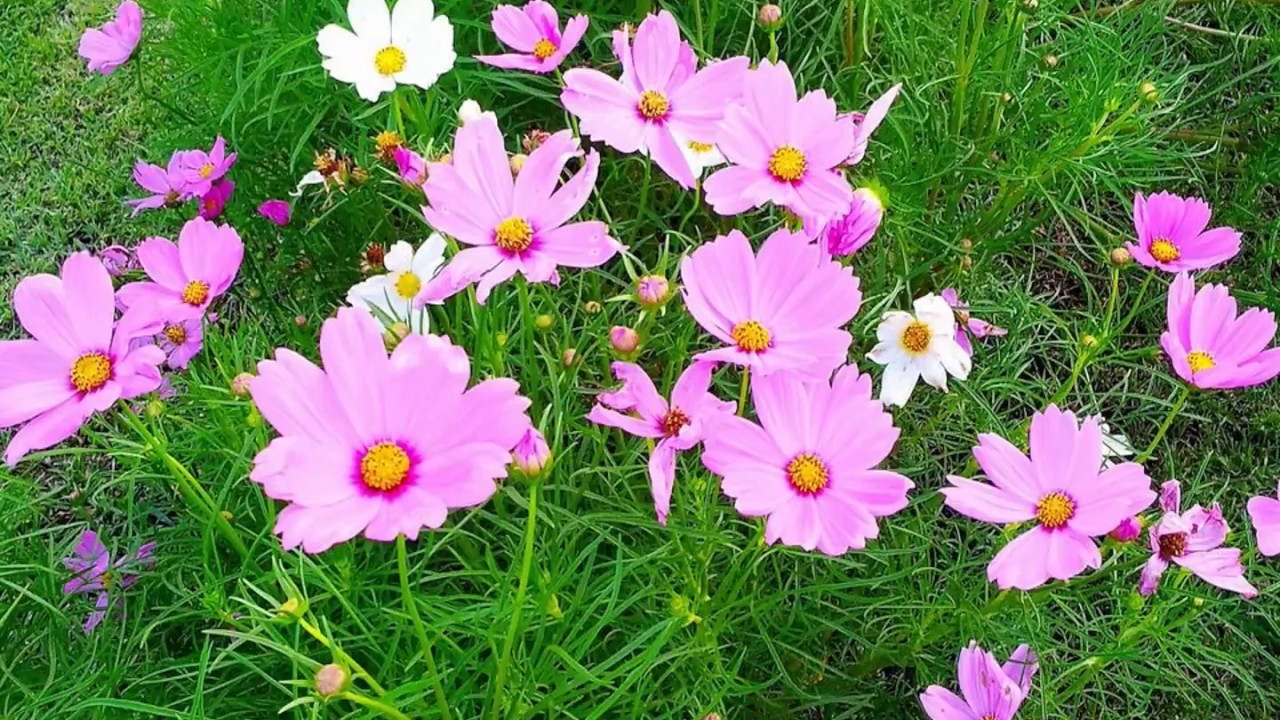 13302 Facts About Cosmos Flowers Youtube