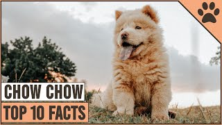 Chow Chow Dog Breed  Top 10 Facts | Dog World