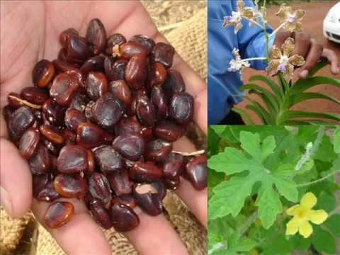 Medicinal Orchid based Formulations for Frost Bite: Pankaj Oudhia's Medicinal Plant Database