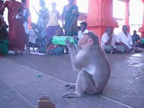 Monkey( Korangi) new ambassador for Sprite........