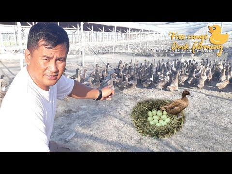 "Semi Free range ""DUCK FARMING"" unique methods"