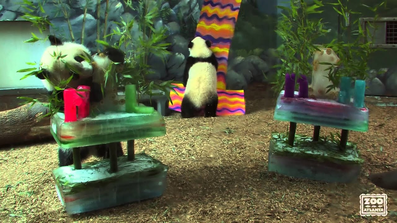 Twin Panda Cubs Enjoy Their 1st Birthday Ice Cakes Youtube