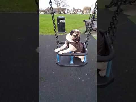 Pug loves swinging