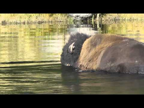 Bull Bison crossing the Madison River in Yellowstone Fall 2014