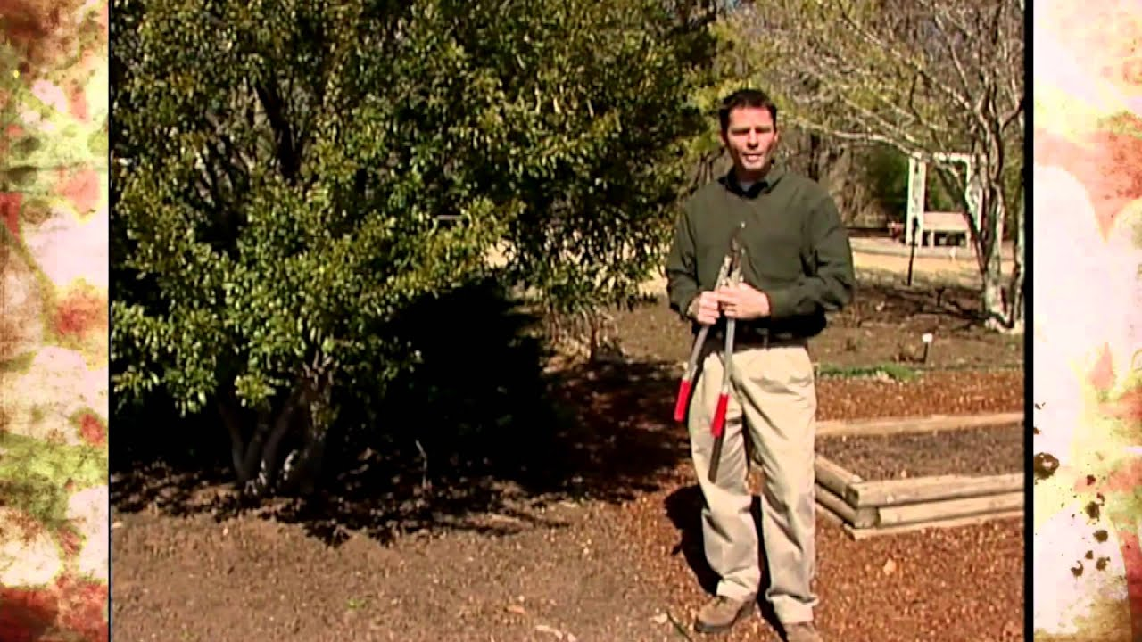 The Southern Wax Myrtle Youtube