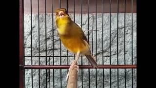 Suara Burung Kenari Juara