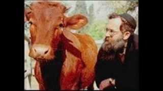 البقرة الحمراء المقدسة ( ميلودي ) مالا تعرفه حذاري*من معتقدات اليهود*