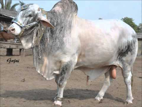 YouTube Video - Karachi cow mandi 2009