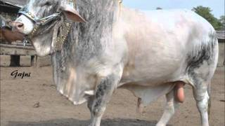 Shah Cattle Farm 2011 - Cows and Bulls for Bakra Eid - Qurbani