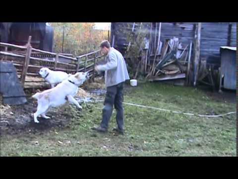 Turkmen Alabai female guarding TEST 16 - Central Asian Shepherd Dog