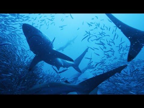 Blacktip Sharks vs. 10 Million Anchovies