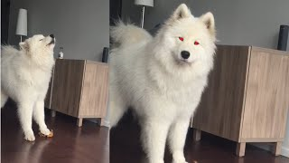 Samoyed Sings while Squeezing Toy