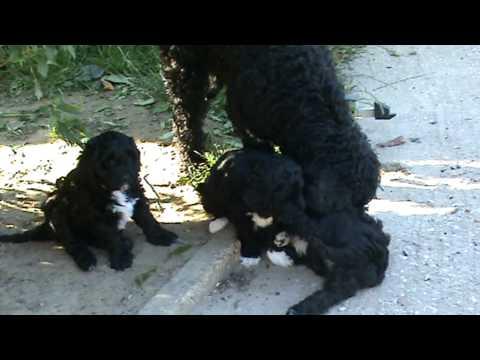 Barbet Bijou and pups au naturel