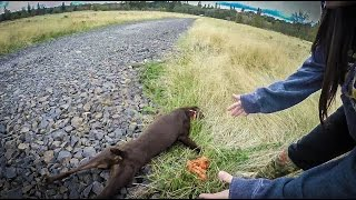 Hunting Dog has Heat Stroke or Hypoglycemic Attack thumbnail