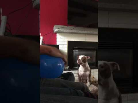 Pitbull makes the most ridiculous noises for squeaking balloon